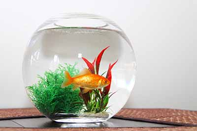 One goldfish in fish bowl